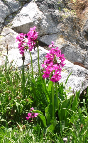 Alpine Fireweed