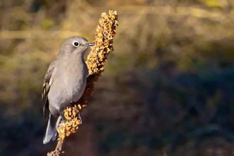 A Townsend's Solitaire (Myadestes townsendi) near the Picture Rock Trail (Canon 7D with 100-400mm lens at 400mm, f/8, 1/2500, ISO 800)