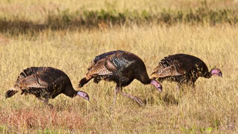 Three Wild Turkeys Doing What They Usually Do (Canon 7D with 100-400mm lens at 260mm, f/8, 1/2000, ISO 800)