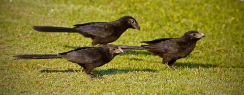 We Watched Three Groove-billed Anis Walk Across the Lawn as They Fed on Insects and Seeds