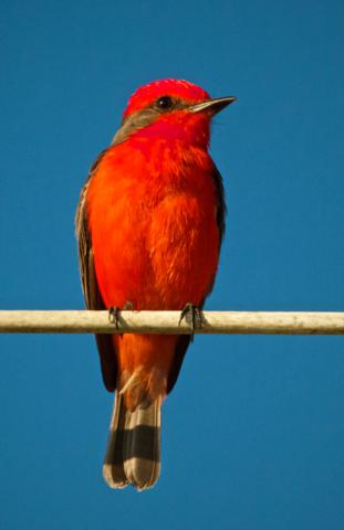 Unlike Most Flycatchers, a Vermillion Flycatcher is One of the Most Colorful Birds