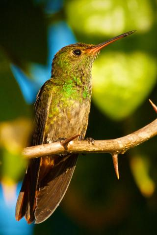 A Rufous-tailed Hummingbird is Tiny