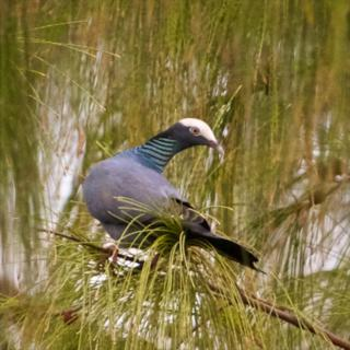 A White-Crowned Pigeon Looks Around