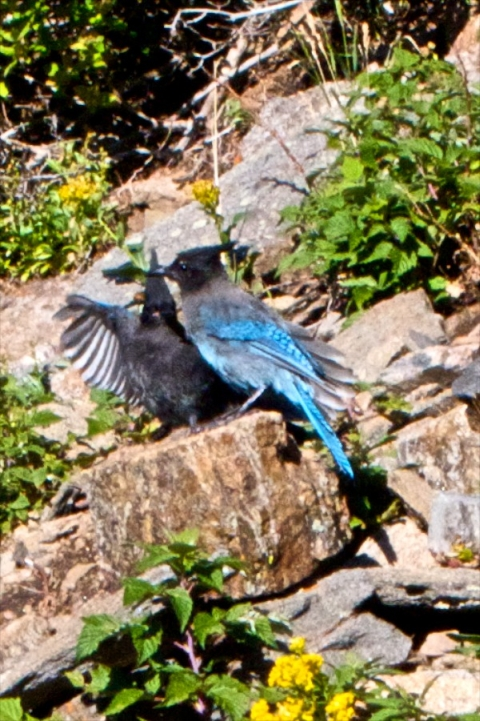 A Pair of Blue Jays