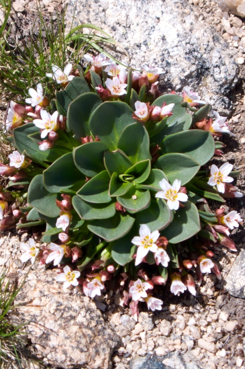 Alpine Springbeauty