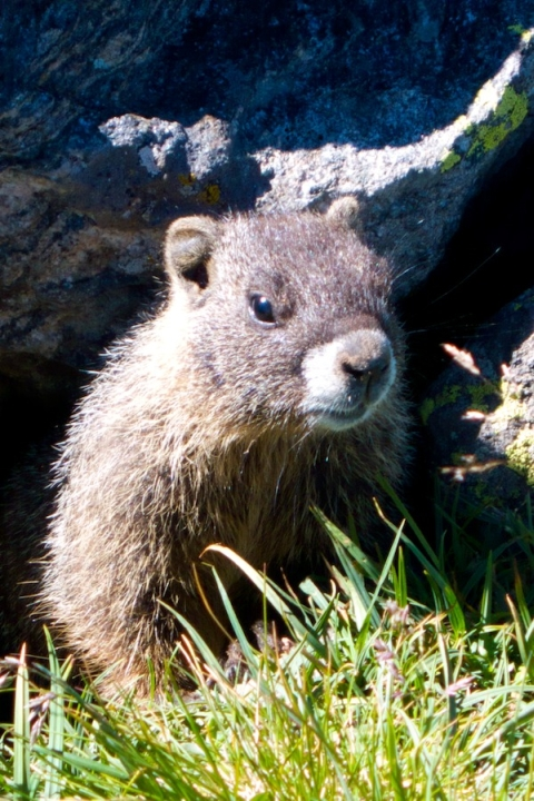 One of Two Baby Marmots that Eventually Came Out from Their Rocks