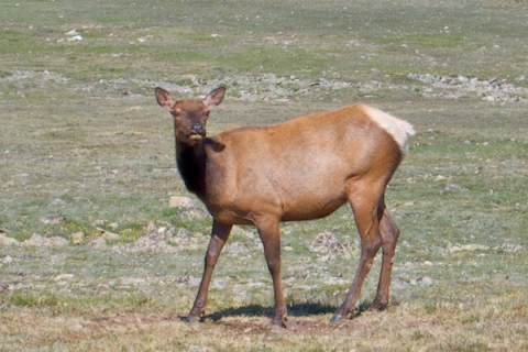 Close-up of a Young Elk