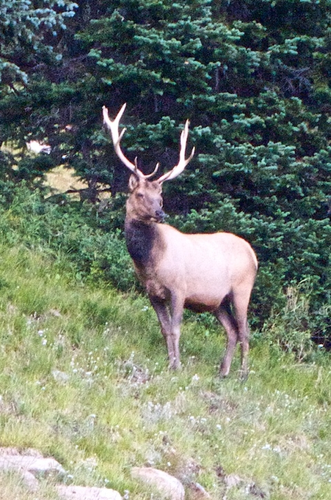 I'm Glad that I Don't Have to Carry Such Big Antlers as this Bull Elk