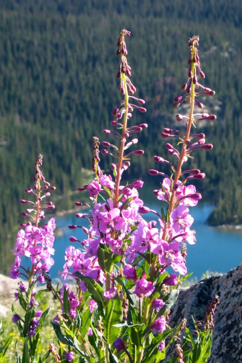 Fireweed Above Goose Lake