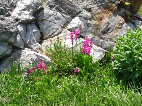 Fireweed and Rock
