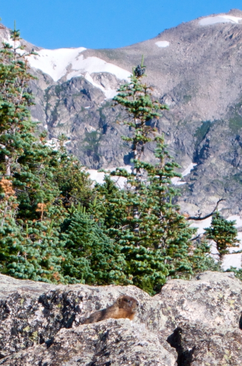 A Marmot and its Rock below Trees and Mountains