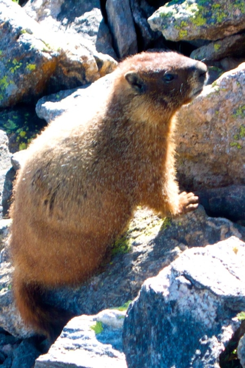 This Marmot was Right on the Trail