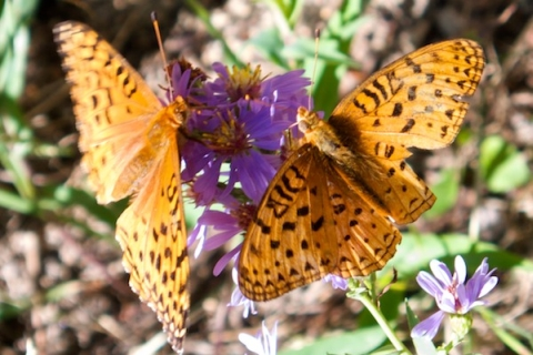 Two Butterflies Share One Flower