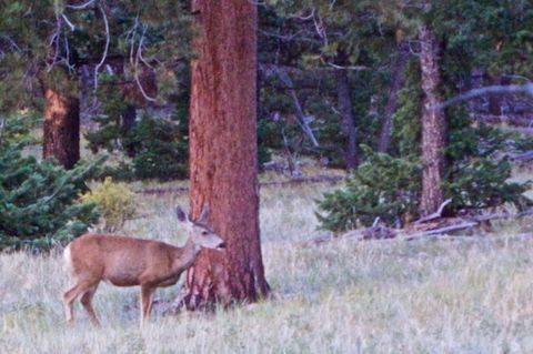 A Deer on Deer Mountain