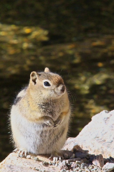 Chipmunk at Dream Lake