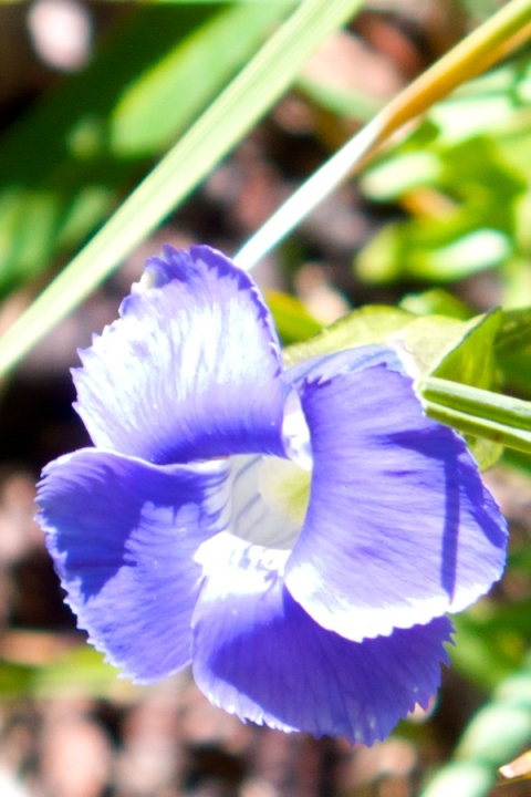 A Fringed Gentian, Which I Never Saw Before