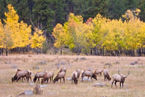 A Buck and His Herd at Upper Beaver Meadows