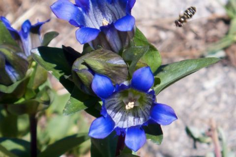 Mountain Gentians with a Bee Coming in for a Landing