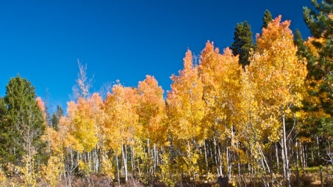 A Row of Aspens
