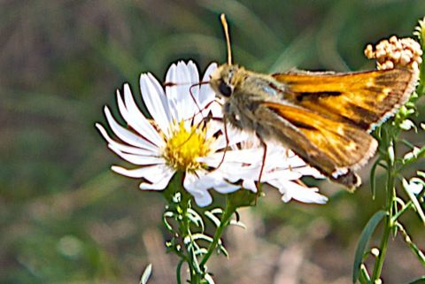 This Butterfly is a Skipper