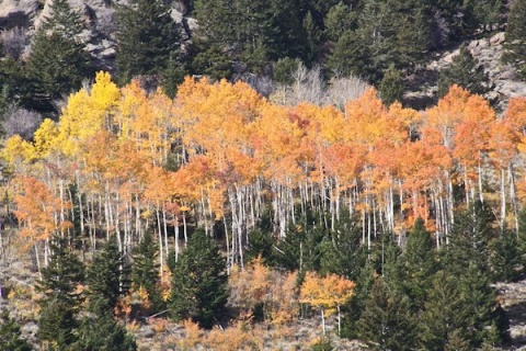 A Hillside Stand of Yellow and Golden Aspens
