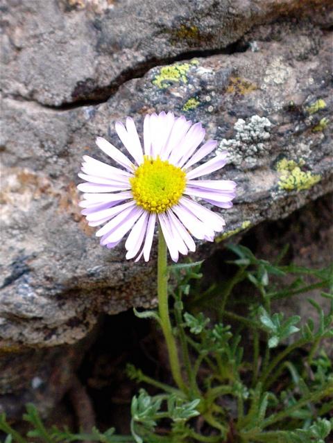 Aspen Daisy