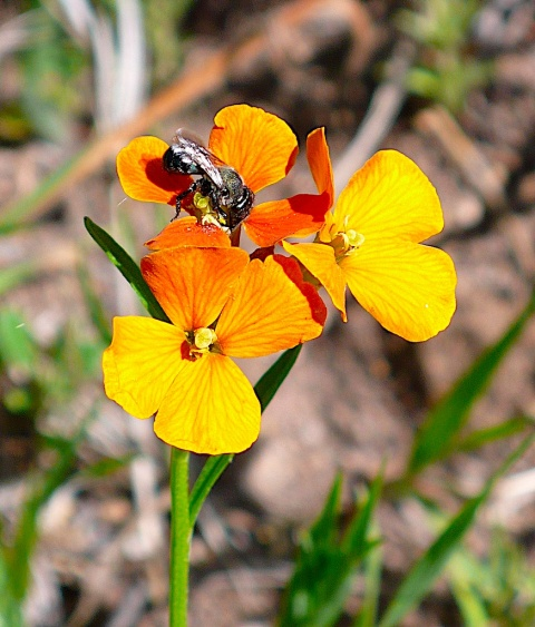 A Bee Works on These Little Yellow and Red Flowers