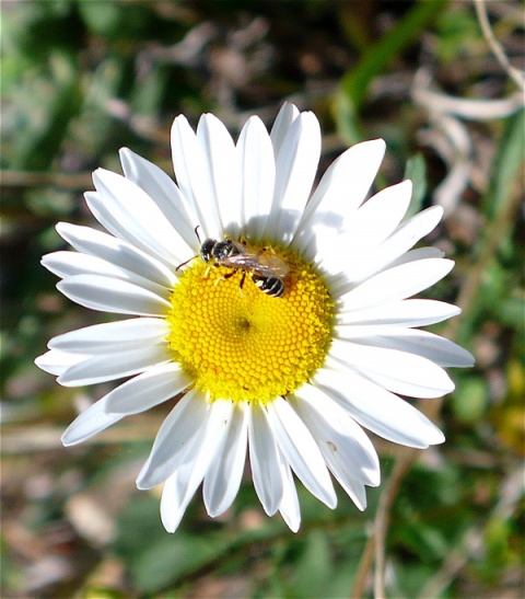 La Bee on Daisy