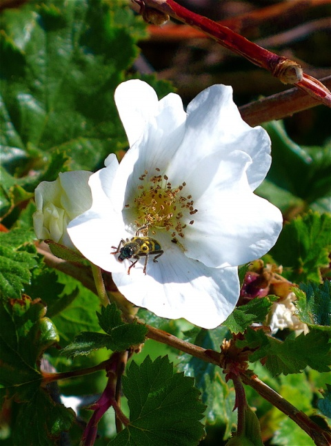 A Busy Bee on a Boulder Raspberry Flower