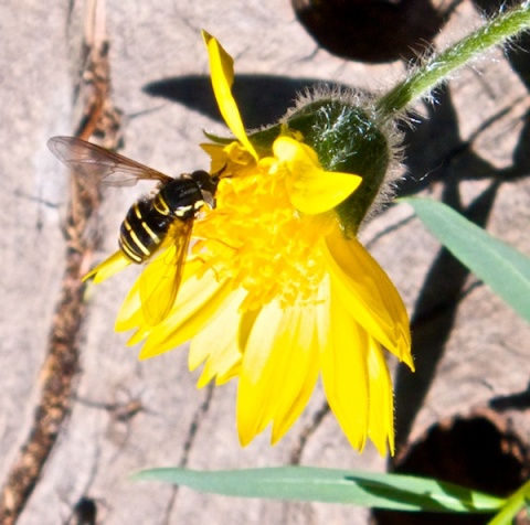Another Busy Pollinator