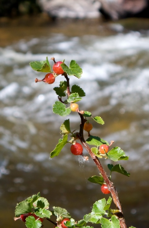 Berries Along South Boulder Creek