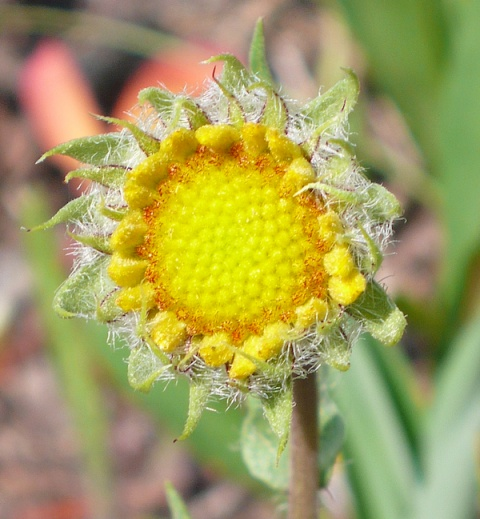 Just a Blanket Flower