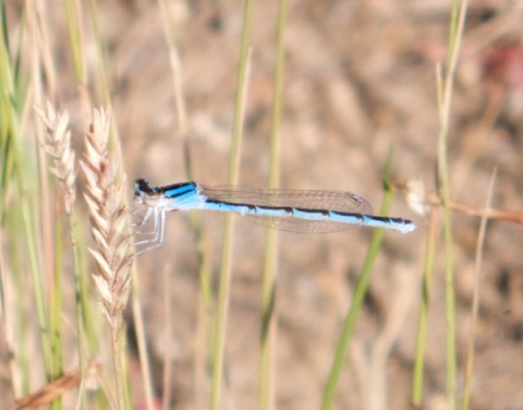 A Bluet