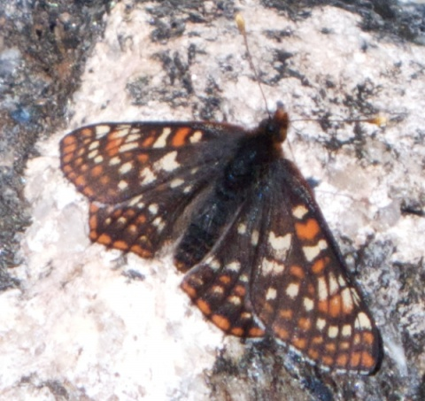 This Butterfly Lives at 12,000 feet on the Continental Divide