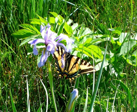 This Big Butterfly Enjoys an Iris at Frazer Meadow
