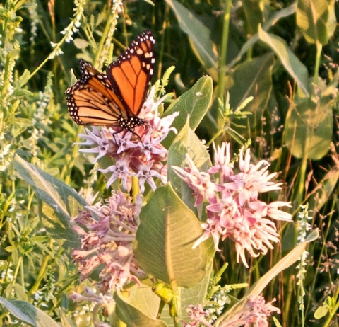 Butterflies Love Bergamot