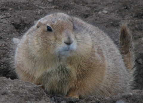 One Chunky Prairie Dog is Ready for Winter (Photo by Karen)