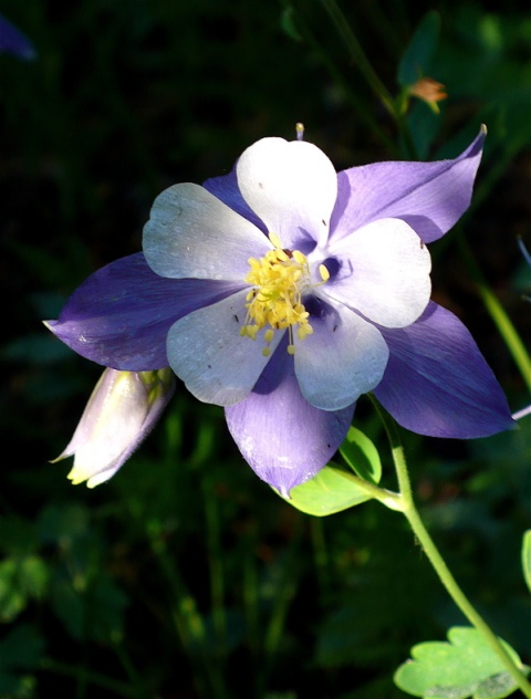 Dew Covered This Columbine Early This Morning