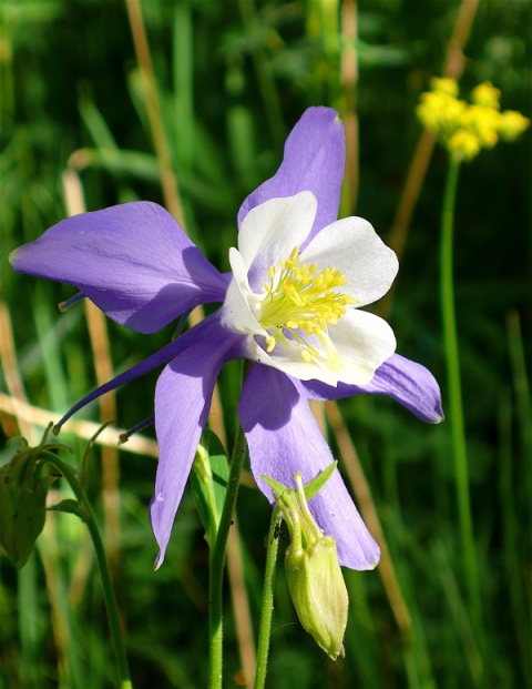 A Columbine Seen from the Side