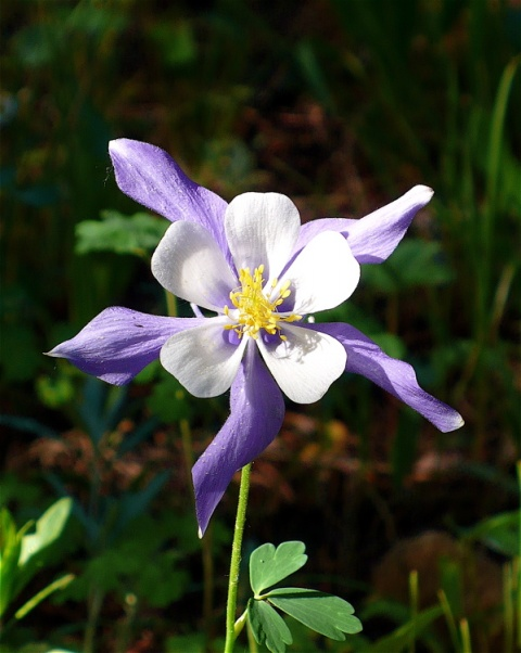 Another Columbine Later in the Day
