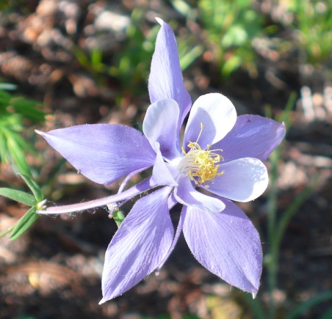 Still, Nothing\'s More Beautiful than a Columbine