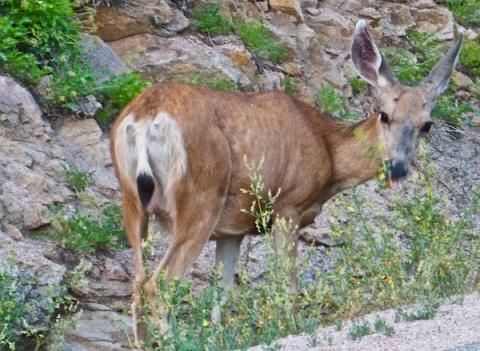 Notice the Deer\'s Tongue?