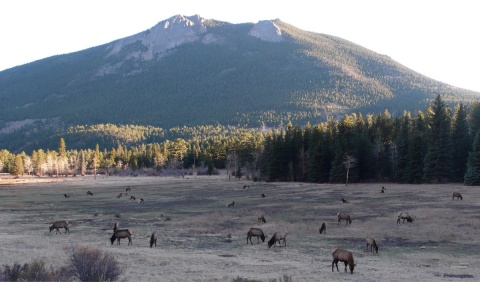 Elk Grazing below Deer Mountain