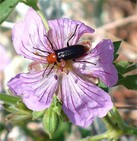 A Bug on a Wild Geranium