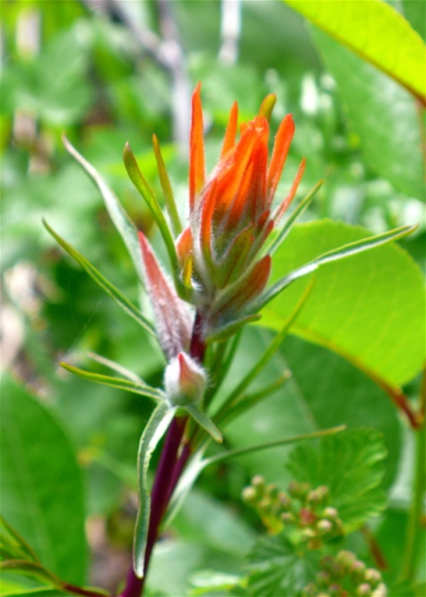 Indian Painbrush