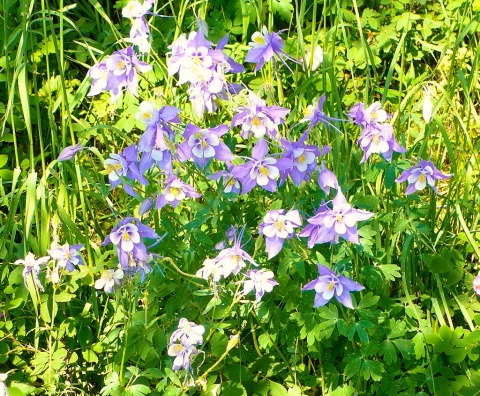 A Bunch of Columbines