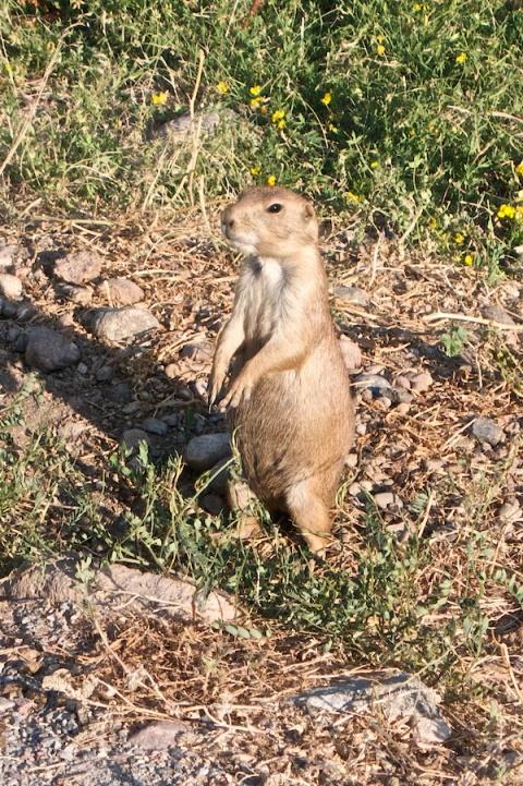 A Sentinel Prairie Dog