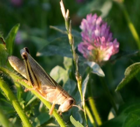 A Local Grasshopper