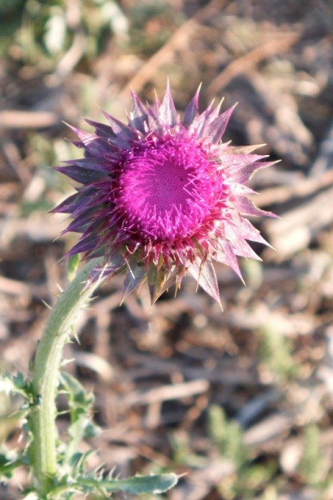 Just a Thistle