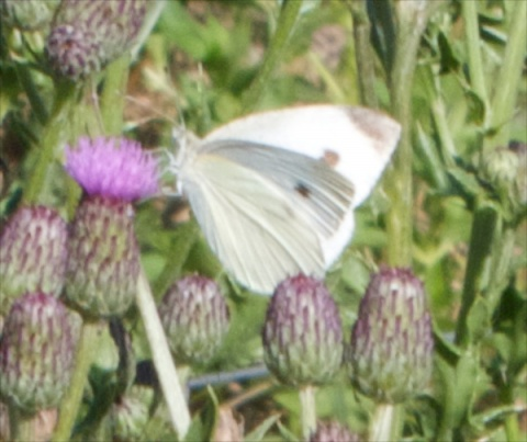 A Spotted White Butterfly